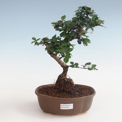 Kryty bonsai - Carmona macrophylla - Tea fuki PB2191328 - 1