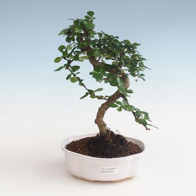 Kryty bonsai - Carmona macrophylla - Tea fuki PB2191329 - 1