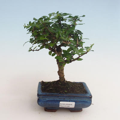 Kryty bonsai - Carmona macrophylla - Tea fuki 412-PB2191336 - 1