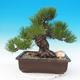 Outdoor bonsai - Pinus thunbergii - Sosna Thunbergova - 1/5