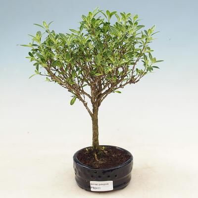 Pinus thunbergii - Sosna thunbergova - 1