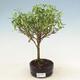 Pinus thunbergii - Sosna thunbergova - 1/3