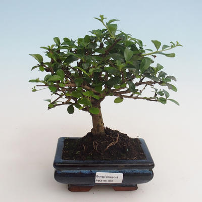 Kryty bonsai - Carmona macrophylla - Tea fuki 412-PB2191333 - 1