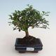 Kryty bonsai - Carmona macrophylla - Tea fuki 412-PB2191333 - 1/5