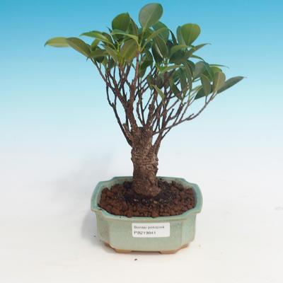 Pokój bonsai - Ficus retusa - mały ficus - 1