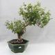 Indoor Bonsai - Australian Cherry - Eugenia uniflora - 1/5