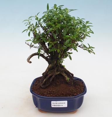 Kryty bonsai - Casuarina equisetifolia - skrzyp - 1