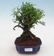 Kryty bonsai - Casuarina equisetifolia - skrzyp - 1/6