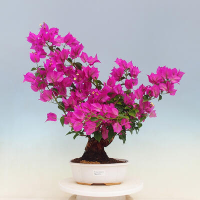 Miska Bonsai 40 x 31,5 x 10,5 cm, kolor szaro-beżowy - 1