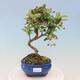 Outdoor bonsai -Malus Halliana - owocach jabłoni - 1/6