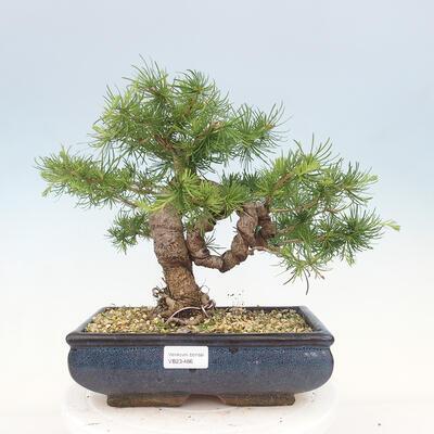 Outdoor bonsai -Malus Halliana - owocach jabłoni - 1