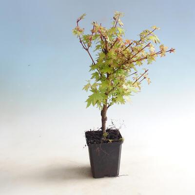 Outdoor bonsai-Acer palmatum Koto Maru - 1