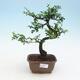 Kryty bonsai - Ulmus parvifolia - Wiąz mały liść - 1/3
