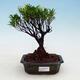 Kryty bonsai - Syzygium - Ziele angielskie - 1/4