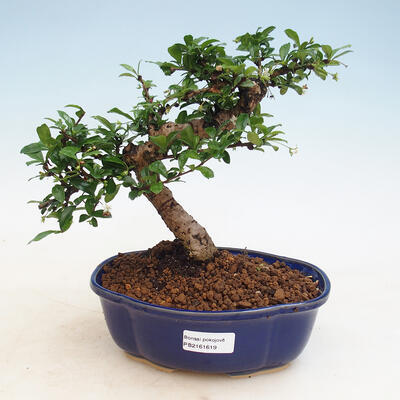 Pokój bonsai - Carmona macrophylla - Tea fuki - 1