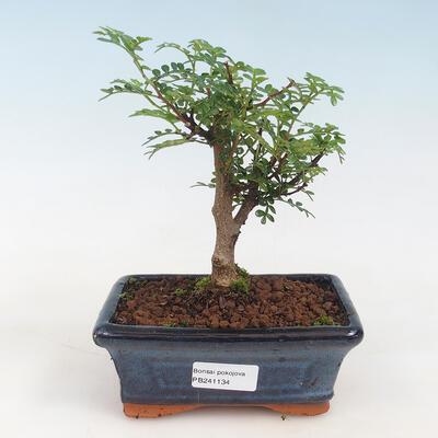 Kryty bonsai - Serissa foetida - Drzewo Tysiąca Gwiazd - 1
