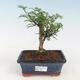 Kryty bonsai - Serissa foetida - Drzewo Tysiąca Gwiazd - 1/2