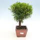 Kryty bonsai - Syzygium - Ziele angielskie - 1/3