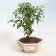 Kryty bonsai-PUNICA granatum nana-Granat - 1/3