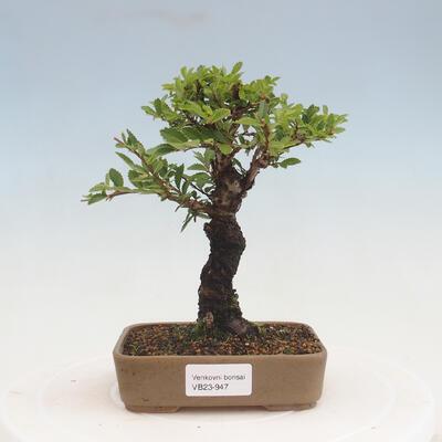 Kryty bonsai-PUNICA granatum nana-Granat - 1