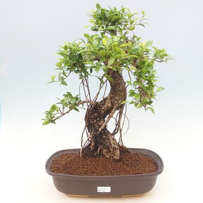 Kryty bonsai - Ficus kimmen - fikus drobnolistny - 1