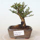 Bonsai zewnętrzne - Ulmus parvifolia SAIGEN - Wiąz drobnolistny - 1/4