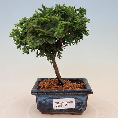 Bonsai zewnętrzne - Ulmus parvifolia SAIGEN - Wiąz drobnolistny - 1