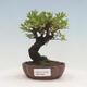 Bonsai zewnętrzne - Ulmus parvifolia SAIGEN - Wiąz drobnolistny - 1/7