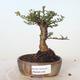 Bonsai zewnętrzne - Ulmus parvifolia SAIGEN - Wiąz drobnolistny - 1/3