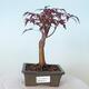 Bonsai zewnętrzne - palma Acer. Atropurpureum-Czerwony liść palmowy - 1/6