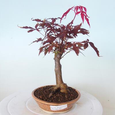 Bonsai zewnętrzne - palma Acer. Atropurpureum-Czerwony liść palmowy - 1