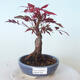 Bonsai zewnętrzne - palma Acer. Atropurpureum-Czerwony liść palmowy - 1/5