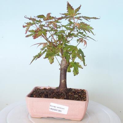 Bonsai na zewnątrz - Maple palmatum sangokaku - Liść palmy klonowej - 1