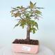 Bonsai na zewnątrz - Maple palmatum sangokaku - Liść palmy klonowej - 1/5