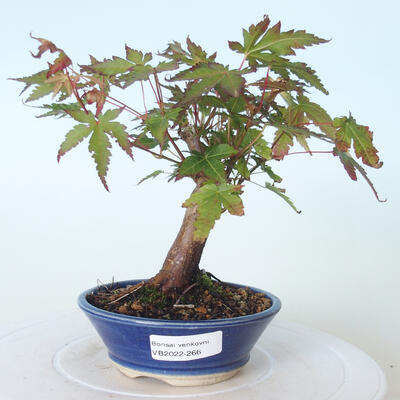Outdoor bonsai - Maple palmatum sangokaku - Liść palmy klonowej - 1