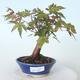 Outdoor bonsai - Maple palmatum sangokaku - Liść palmy klonowej - 1/5