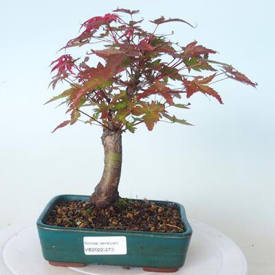 Bonsai outdoor - Maple palmatum DESHOJO - Maple palmate - 1