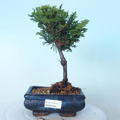 Bonsai na zewnątrz - Cham.pis obtusa Nana Gracilis - Cyprys - 1
