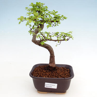 Kryty bonsai - Ulmus parvifolia - Wiąz drobnolistny - 1