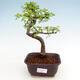 Kryty bonsai - Ulmus parvifolia - Wiąz drobnolistny - 1/3