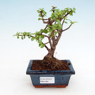 Kryty bonsai - Portulakaria Afra - Tlustice - 1