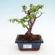Kryty bonsai - Portulakaria Afra - Tlustice - 1/2