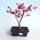 Outdoor bonsai - Maple palmatum DESHOJO - Maple palmate - 1/4