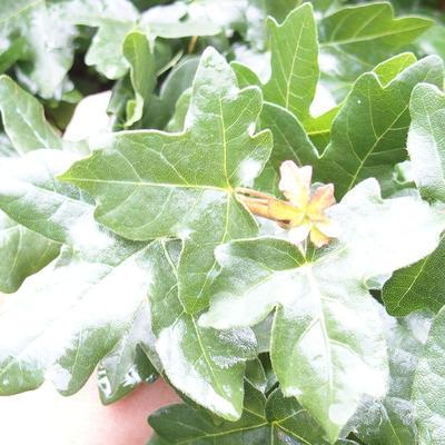 Outdoor bonsai-Acer campestre-Babyka klon - 1