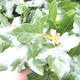 Outdoor bonsai-Acer campestre-Babyka klon - 1/2