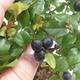 Kryty bonsai - Sagerécie thea - Sagerécie thea - 1/5