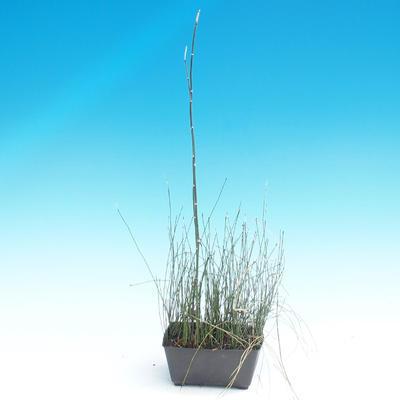 Skrzyp - Equlsetum Japonicem - 1