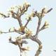 Outdoor bonsai - Prunus spinosa - Tarnina - 2/2