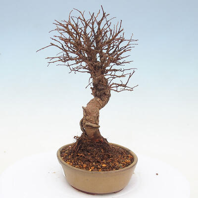 Outdoor bonsai - Zelkova - Zelkova NIRE - 2
