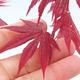 Outdoor bonsai - Acer palm. Atropurpureum-czerwony liść palmowy - 2/2